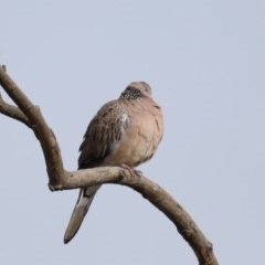 Streptopelia chinensis (Spotted Dove) at Jerrabomberra Wetlands - 11 Sep 2019 by jbromilow50