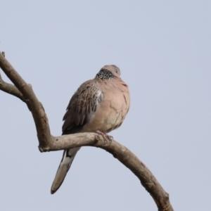 Streptopelia chinensis at Jerrabomberra Wetlands - 12 Sep 2019