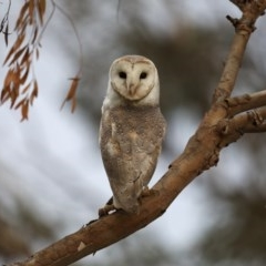 Tyto alba (Barn Owl) at Fyshwick, ACT - 11 Sep 2019 by jbromilow50