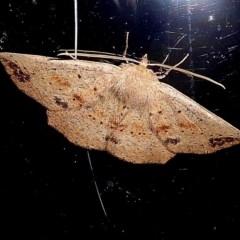 Idiodes apicata (Bracken Moth) at Brogo, NSW - 12 Sep 2019 by MaxCampbell