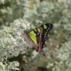 Graphium macleayanum (Macleay's Swallowtail) at ANBG - 13 Sep 2019 by TimL