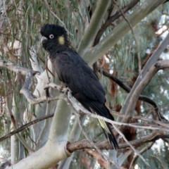 Zanda funereus (Yellow-tailed Black-Cockatoo) at Macarthur, ACT - 14 Sep 2019 by RodDeb