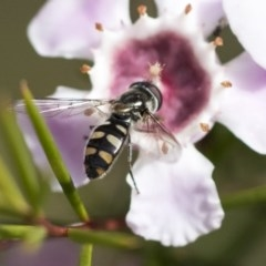 Melangyna viridiceps (Hover fly) at ANBG - 13 Sep 2019 by AlisonMilton