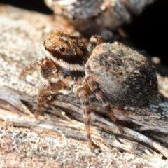 Jotus auripes (Jumping spider) at Aranda Bushland - 11 Sep 2019 by Harrisi