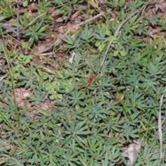 Astroloma humifusum (Cranberry heath) at Gigerline Nature Reserve - 8 Jul 2014 by michaelb