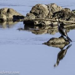 Microcarbo melanoleucos (Little Pied Cormorant) at Gigerline Nature Reserve - 7 Sep 2019 by BIrdsinCanberra