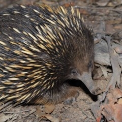 Tachyglossus aculeatus (Short-beaked Echidna) at ANBG - 10 Sep 2019 by Tim L