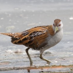 Zapornia pusilla (Baillon's Crake) at Jerrabomberra Wetlands - 15 Sep 2019 by Marthijn