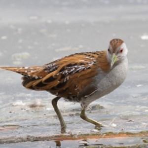 Zapornia pusilla at Jerrabomberra Wetlands - 15 Sep 2019