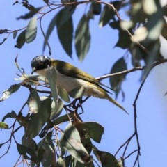 Melithreptus lunatus (White-naped Honeyeater) at Bruce, ACT - 11 Sep 2019 by Alison Milton