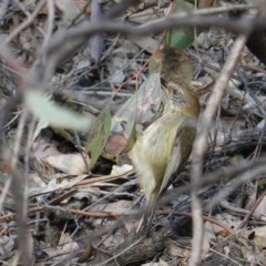 Acanthiza lineata (Striated Thornbill) at Red Hill Nature Reserve - 13 Sep 2019 by JackyF