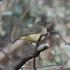 Acanthiza reguloides (Buff-rumped Thornbill) at Red Hill Nature Reserve - 13 Sep 2019 by JackyF