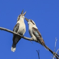 Dacelo novaeguineae (Laughing Kookaburra) at Gossan Hill - 10 Sep 2019 by AlisonMilton