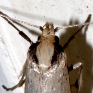 Philobota mathematica group undescribed species. at Ainslie, ACT - 6 Sep 2019