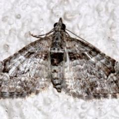 Phrissogonus laticostata at Ainslie, ACT - 15 Sep 2019