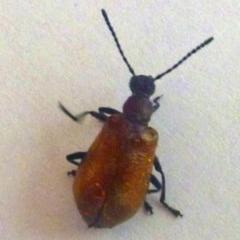 Ecnolagria grandis (Honeybrown beetle) at Aranda, ACT - 22 Dec 2012 by JanetRussell