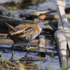 Zapornia pusilla (Baillon's Crake) at Jerrabomberra Wetlands - 16 Sep 2019 by Alison Milton