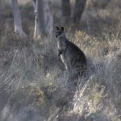 Wallabia bicolor (Swamp Wallaby) at Gundaroo, NSW - 14 Sep 2019 by Gunyijan