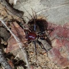 Habronestes bradleyi (Bradley's ant-eating spider) at Aranda Bushland - 15 Sep 2019 by CathB