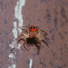 Prostheclina pallida (Orange jumping spider) at ANBG - 13 Sep 2019 by TimL