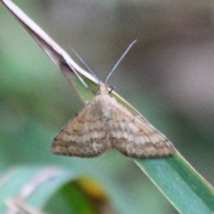 Scopula rubraria at Wairo Beach and Dolphin Point - 16 Sep 2019