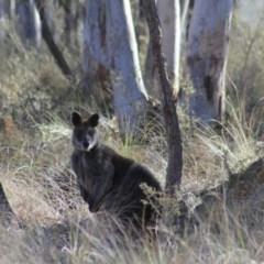 Wallabia bicolor (Swamp Wallaby) at Gundaroo, NSW - 25 Aug 2019 by Gunyijan