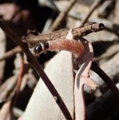 Oecophorinae (subfamily) (Unidentified Oecophorinae concealer moth) at Aranda Bushland - 15 Sep 2019 by CathB