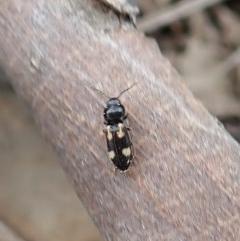Austrocardiophorus assimilis (Click beetle) at Aranda Bushland - 15 Sep 2019 by CathB