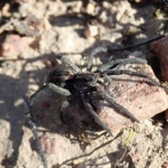 Tasmanicosa sp. (genus) (Unidentified Tasmanicosa wolf spider) at Mount Painter - 14 Sep 2019 by CathB