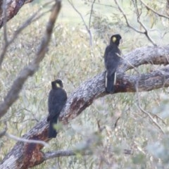 Zanda funereus (Yellow-tailed Black-Cockatoo) at Illilanga & Baroona - 25 May 2014 by Illilanga