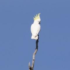 Cacatua galerita (Sulphur-crested Cockatoo) at Michelago, NSW - 4 Aug 2019 by Illilanga