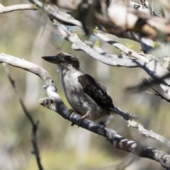 Dacelo novaeguineae (Laughing Kookaburra) at Illilanga & Baroona - 11 Jan 2019 by Illilanga