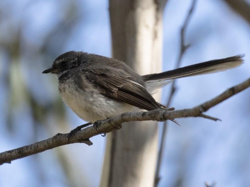Rhipidura albiscapa at Michelago, NSW - 11 Feb 2018