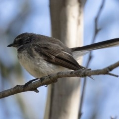Rhipidura fuliginosa (Grey Fantail) at Illilanga & Baroona - 10 Feb 2018 by Illilanga