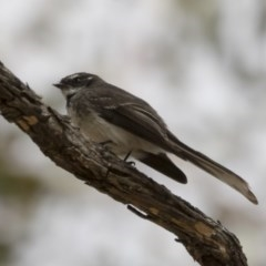 Rhipidura fuliginosa (Grey Fantail) at Illilanga & Baroona - 12 Oct 2018 by Illilanga