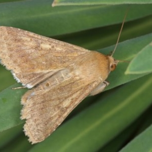 Helicoverpa (genus) at Kambah, ACT - 18 Sep 2019