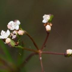 Platysace linearifolia (Narrow-leaved platysace) at Bundanoon, NSW - 5 Sep 2019 by Boobook38
