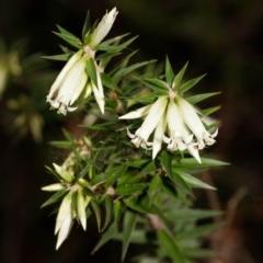 Epacris calvertiana var. calvertiana at Bundanoon, NSW - 5 Sep 2019 by Boobook38