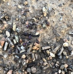 Iridomyrmex purpureus (Meat Ant) at Aranda, ACT - 18 Sep 2019 by Jubeyjubes