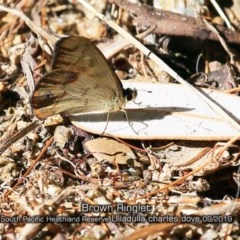 Hypocysta metirius (Brown Ringlet) at South Pacific Heathland Reserve - 10 Sep 2019 by Charles Dove