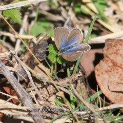 Zizina otis labradus (Common Grass-blue) at Coomee Nulunga Cultural Walking Track - 9 Sep 2019 by Charles Dove