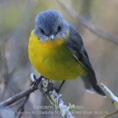 Eopsaltria australis (Eastern Yellow Robin) at One Track For All - 9 Sep 2019 by CharlesDove