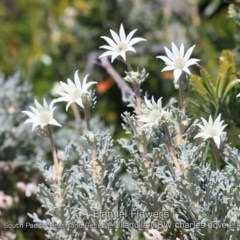 Actinotus helianthi (Flannel Flower) at South Pacific Heathland Reserve - 10 Sep 2019 by CharlesDove