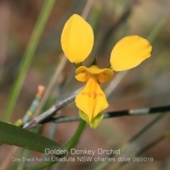 Diuris aurea (Golden Donkey Orchid) at One Track For All - 10 Sep 2019 by CharlesDove