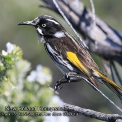 Phylidonyris novaehollandiae (New Holland Honeyeater) at One Track For All - 9 Sep 2019 by CharlesDove
