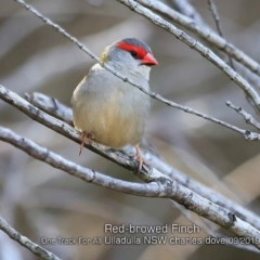 Neochmia temporalis (Red-browed Finch) at One Track For All - 11 Sep 2019 by Charles Dove