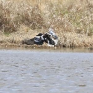 Spatula clypeata at Jerrabomberra Wetlands - 16 Sep 2019
