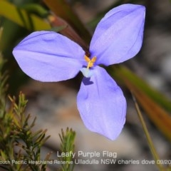 Patersonia glabrata (Leafy Purple-flag) at South Pacific Heathland Reserve - 10 Sep 2019 by CharlesDove
