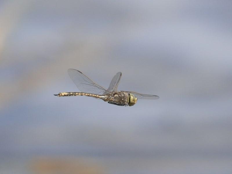 Anax papuensis at Jerrabomberra Wetlands - 16 Sep 2019