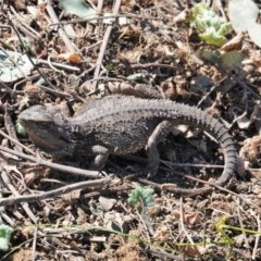 Pogona barbata (Eastern Bearded Dragon) at Red Hill Nature Reserve - 18 Sep 2019 by JackyF